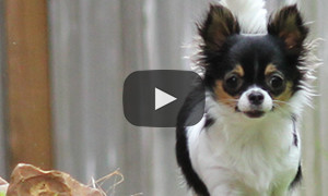 Pippi the Chihuahua Busted!