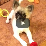 Josie the Chihuahua on Sensory Overload!