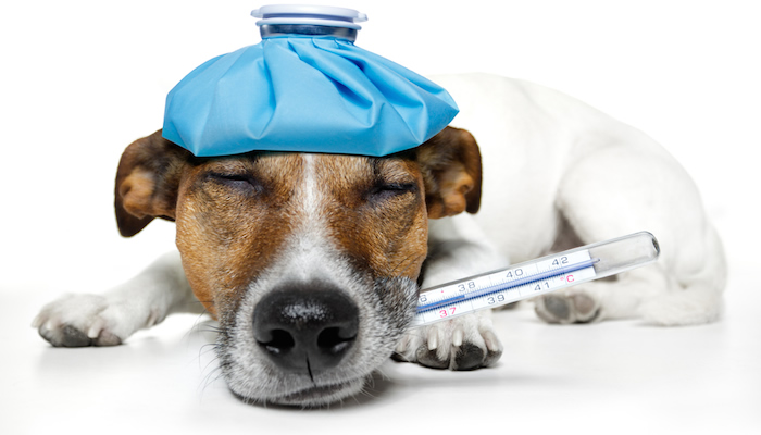Dog with thermometer