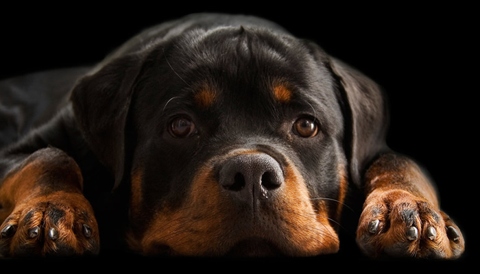 The right food to feed your Rottweiler