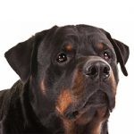 The Right Food for Your Rottweiler