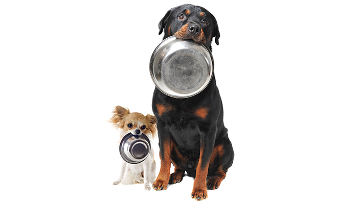 Hungry Chihuahua and Rottweiler