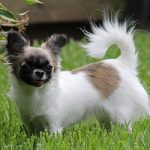 What's The Best Food For Your Chihuahua?